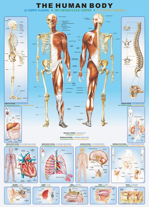Human Body - 1000pc Educational Jigsaw Puzzle by Eurographics