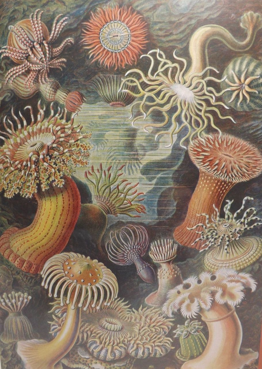Haeckel: Sea Anemones - 500pc Jigsaw Puzzle by Pomegranate  			  					NEW