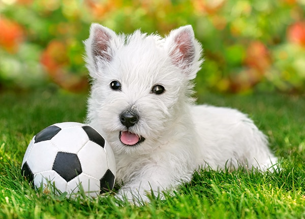 White Terrier and Football - 60pc Jigsaw Puzzle By Castorland  			  					NEW