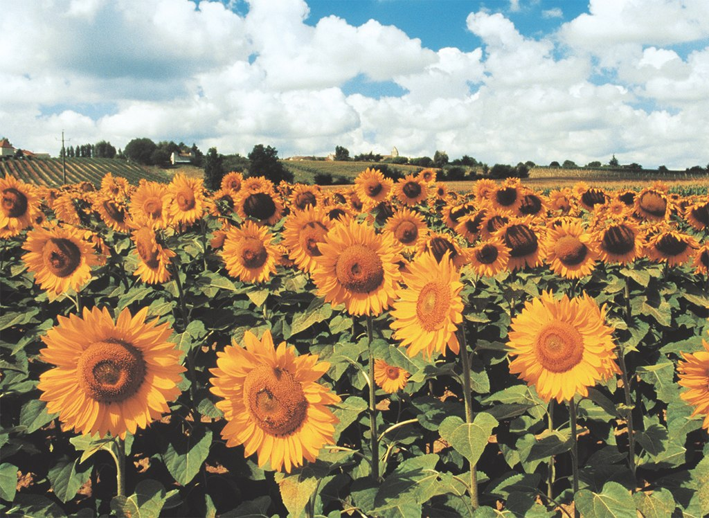 Sunflowers - 500pc Jigsaw Puzzle by Tomax