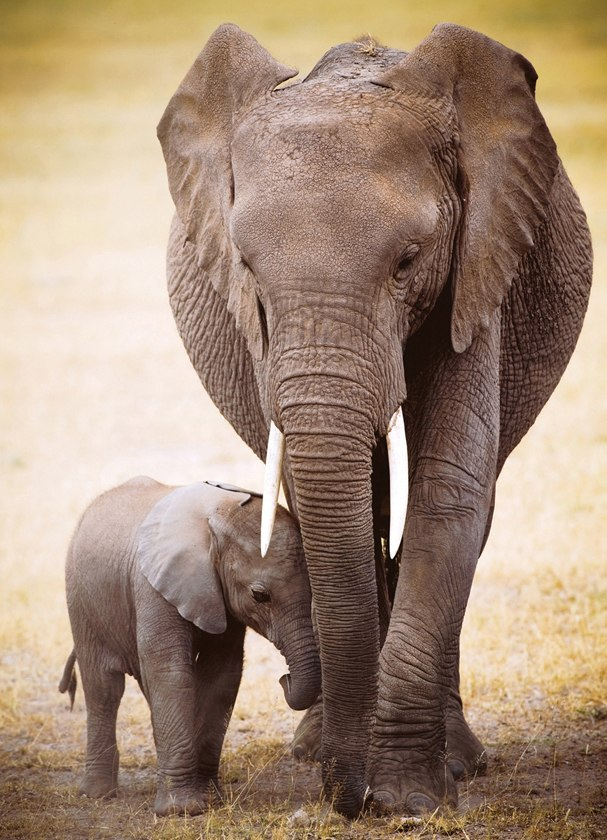 Elephant & Baby - 1000pc Jigsaw Puzzle by Eurographics