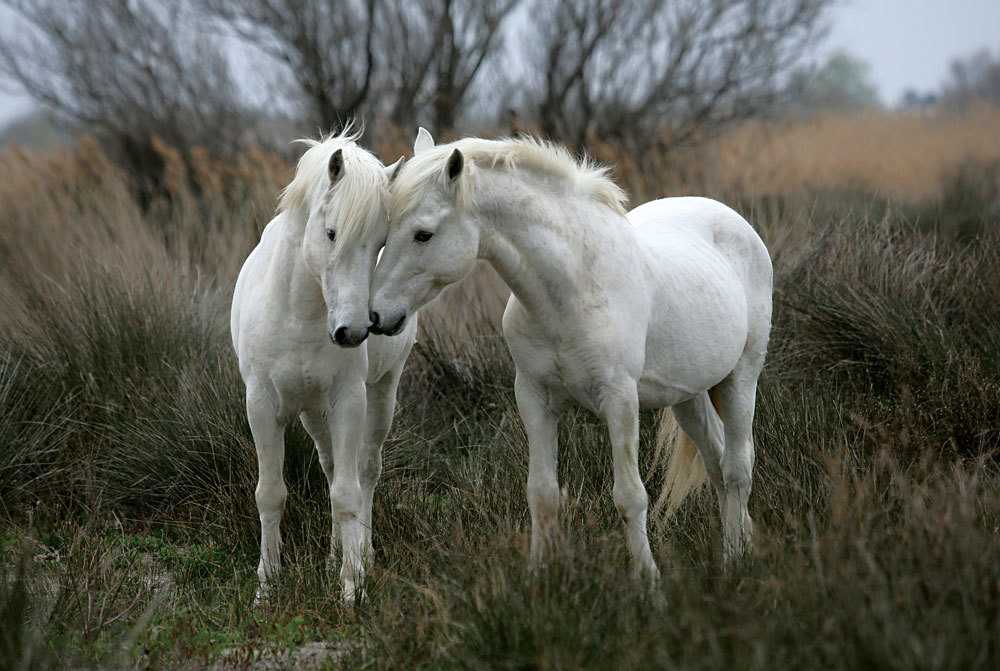 White Stallions - 1000pc Jigsaw Puzzle By Tomax