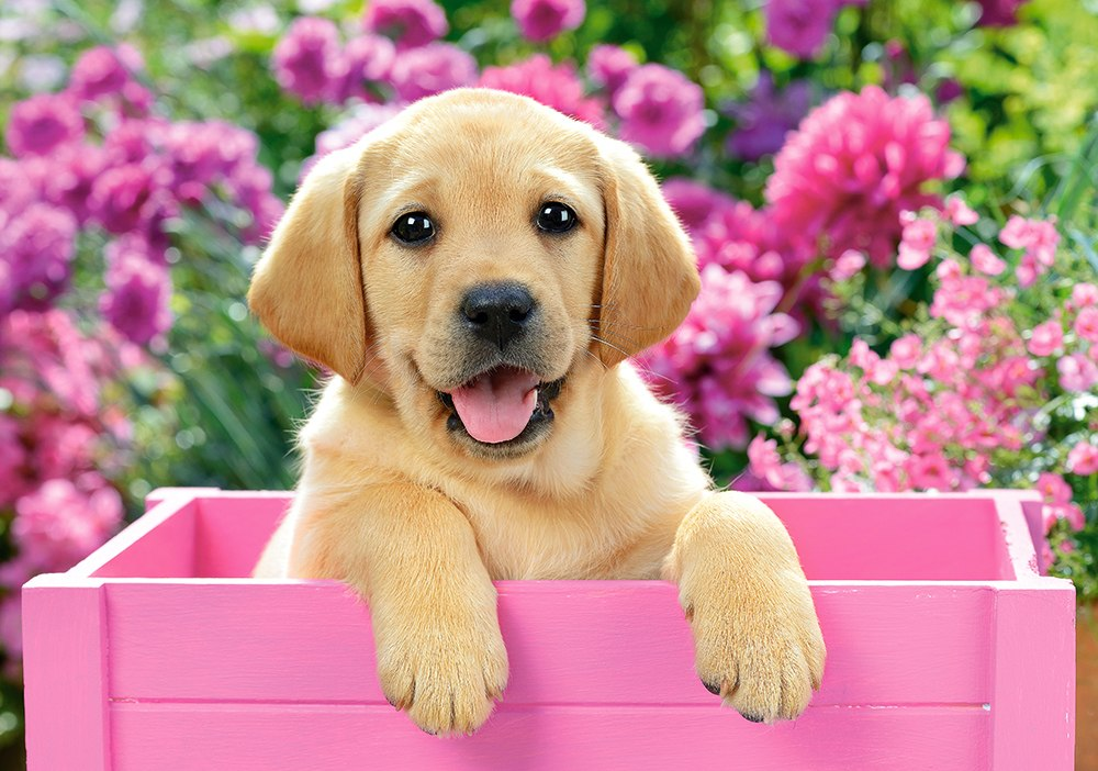 Labrador Puppy in Pink Box - 500pc Jigsaw Puzzle By Castorland