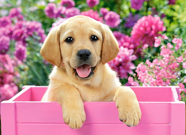 Labrador Puppy in Pink Box - 300pc Jigsaw Puzzle By Castorland