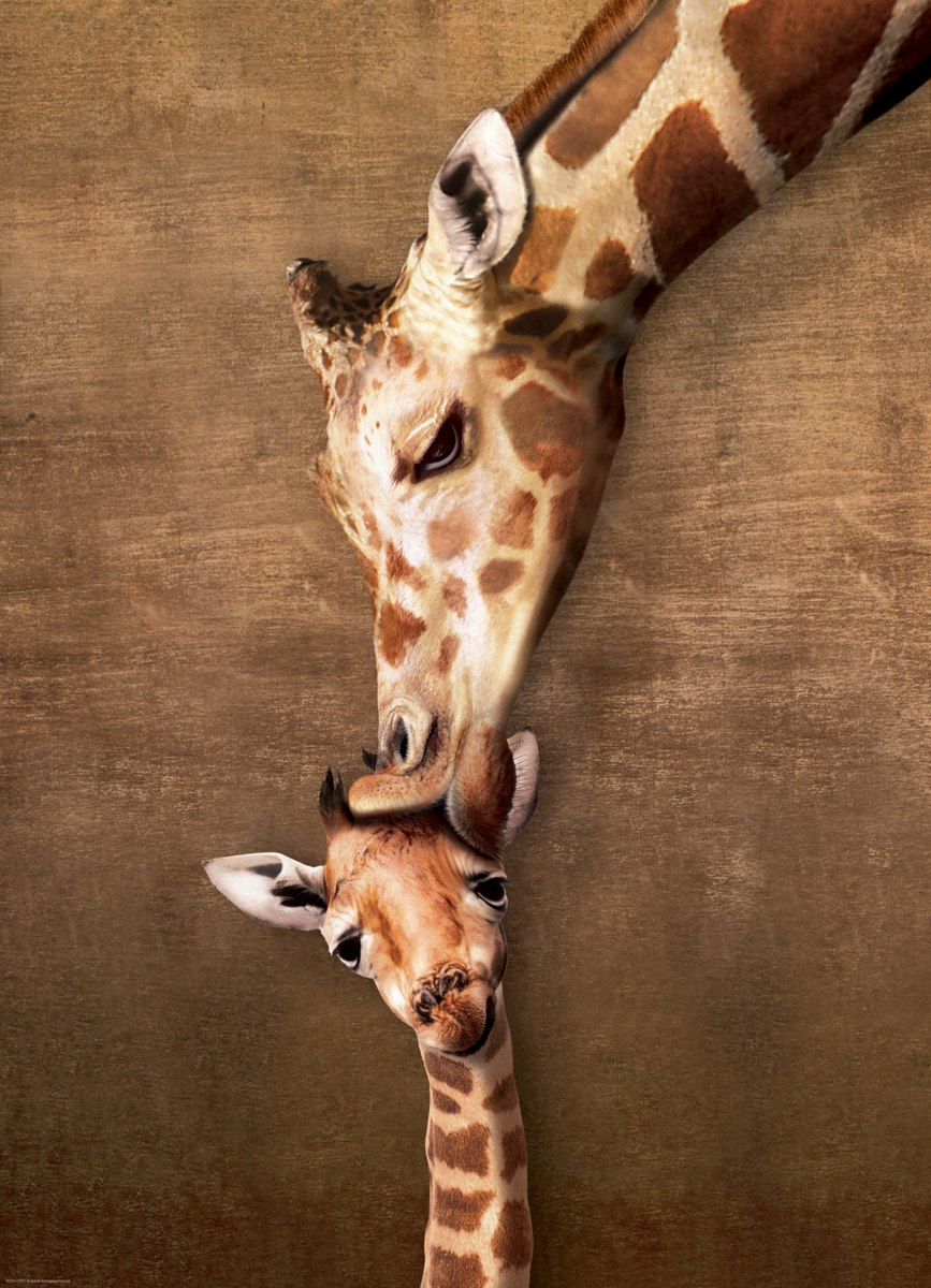 Giraffe Mother's Kiss - 500pc Jigsaw Puzzle by Eurographics