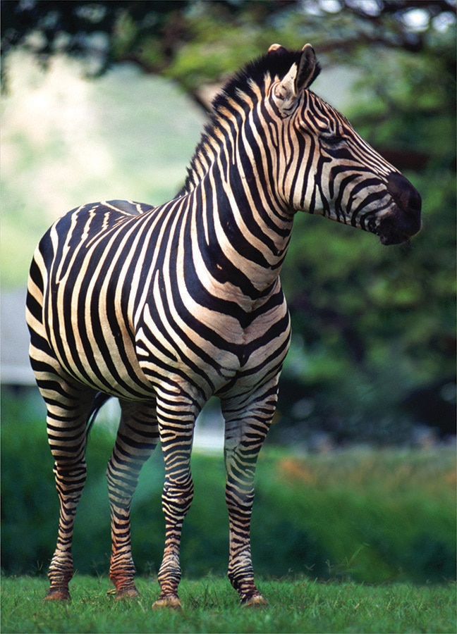 Wildlife: Zebra - 54pc Mini Jigsaw Puzzle by D-Toys