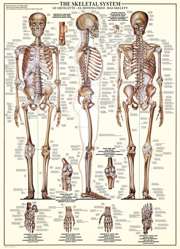 The Skeletal System - 1000pc Educational Jigsaw Puzzle by Eurographics