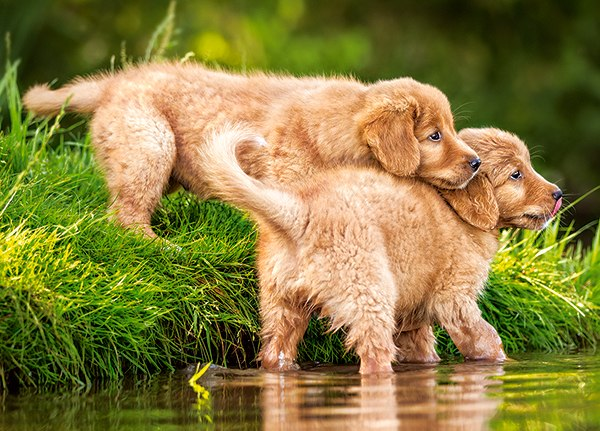 Puppies by the River - 60pc Jigsaw Puzzle By Castorland