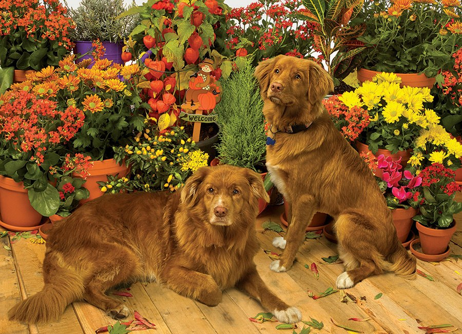 Duck Tollers - 1000pc Jigsaw Puzzle by Cobble Hill